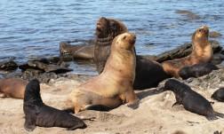 Falklands Sea Lions