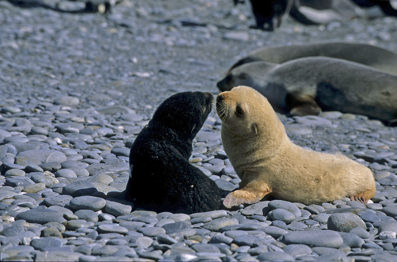 Antarctic Fur Seal AA flavinistic pup 1