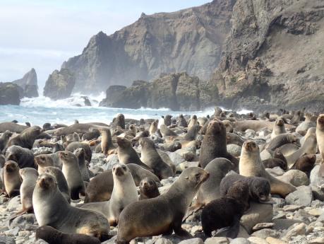 fur seal colony)