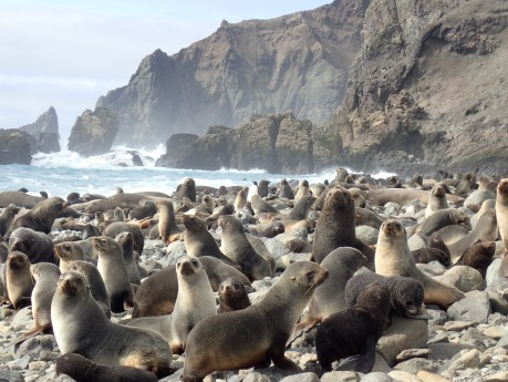 fur seal colony)